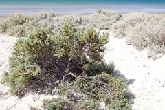 Vegetation on the beach near Puerto Madryn, a city in Chubut Province, Patagonia, Argentina. Vegetation on the beach near Puerto Madryn, a city in Chubut Royalty Free Stock Photos
