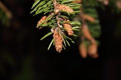 Vegetation, Branch, Tree, Pine Family