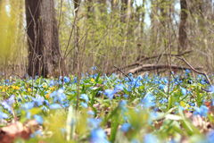 Vegetation carpet of blue snowdrops in forest Stock Photos