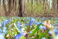 Vegetation carpet of blue snowdrops in forest Royalty Free Stock Photography