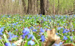 Vegetation carpet of blue snowdrops in forest Stock Photography