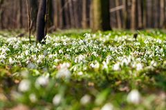 Vegetation carpet of snowdrops in floodplain forest Stock Images