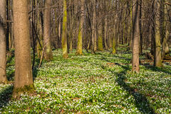 Vegetation carpet of snowdrops in floodplain forest Stock Photography