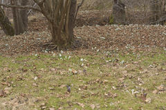 The Vegetation carpet of snowdrops in floodplain forest Galanthus nivalis Royalty Free Stock Photos