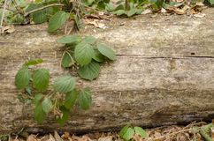 Vegetation composition with big log and green leaves. In mountain wilderness Royalty Free Stock Photography