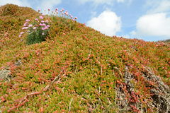 Vegetation in Cornwall. Orange and green plants growing on rocks in Lizard Cove Cornwall UK. Thrift FLowers Royalty Free Stock Photography
