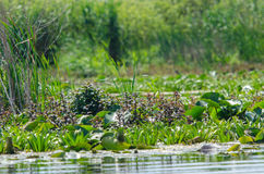 Vegetation in Danube Delta. Rich vegetation in Danube Delta, water lilies and water mint royalty free stock images