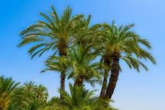 Vegetation, Date Palm, Tree, Plant Stock Images