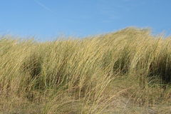 Vegetation in the Dutch dunes Royalty Free Stock Photos