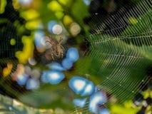 Vegetation för bakgrund för ilsken blick för sol för Arachnoidkrypcobeb som suddig jagar colorfully en netto fälla för kryp royaltyfria foton