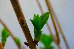 Vegetation filial med knoppen på en grön bakgrund Arkivfoton