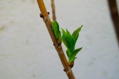 Vegetation filial med knoppen på en vit bakgrund Royaltyfria Bilder