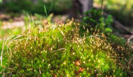 Blurred moss on the forest ground. Vegetation on the forest ground, moss and small flowers , blurred background royalty free stock photography