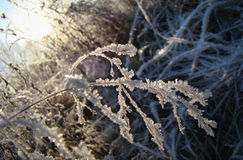Vegetation. After a frosty night in the morning sun Royalty Free Stock Images