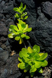Vegetation. Grow on lava rock by the beach in Hawaii Royalty Free Stock Photos