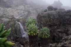 Vegetation Kilimanzharo Senecio Fotografering för Bildbyråer