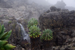 Vegetation Kilimanzharo Senecio Stockbild