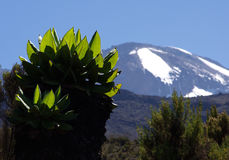 Vegetation Kilimanzharo. Senecio   on blurred background Kilimanjaro Royalty Free Stock Photos