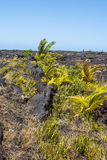 Vegetation on the lava fields in Big Island, Hawaii Royalty Free Stock Image