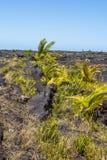 Vegetation on the lava fields in Big Island, Hawaii Royalty Free Stock Image