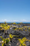 Vegetation on the lava in Hawaii Royalty Free Stock Images
