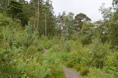 Vegetation lined path looking onto an elderly pine tree Stock Photos