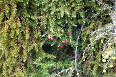 Vegetation at the Los Glaciares National Park, Argentina. Vegetation, berberis or barberry, along the trail to Cerro Fitz Roy at the Los Glaciares National Park Royalty Free Stock Photography