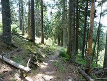 Vegetation of mountain forests. Firs. Vegetation of mountain forests of the Ukrainian Carpathians. Firs Stock Image