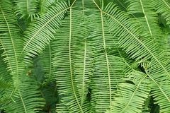 Vegetation, Ostrich Fern, Plant, Ferns And Horsetails Royalty Free Stock Photo