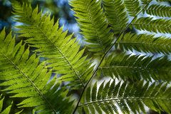 Vegetation, Plant, Ferns And Horsetails, Ostrich Fern Royalty Free Stock Photo