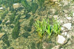 Vegetation plants in the rover water with rocky shoreline on natural light view from above. Stock Images