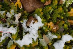 Vegetation poking though early snow royalty free stock photos