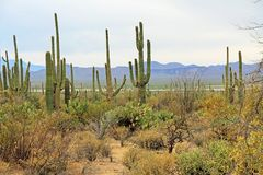 Vegetation in the Sonoran Desert in Saguaro National Park. A variety of vegetation in the Sonoran Desert in Saguaro National Park, Tucson, Arizona, USA with Stock Photo