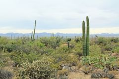 Vegetation in the Sonoran Desert in Saguaro National Park. A variety of vegetation in the Sonoran Desert in Saguaro National Park, Tucson, Arizona, USA with Stock Images