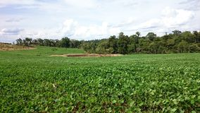 Vegetation of Soya Stock Photo