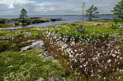 Vegetation and stones on the bank of the White sea Stock Image