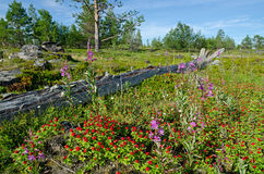 Vegetation and stones on the bank of the White sea Stock Photos