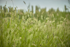 Vegetation and thunderstorm. Vegetation, grass, typical of the plumage areas of the Po Valley in Italy. Detail of grass roots and small ears. Swampy vegetation Stock Photo