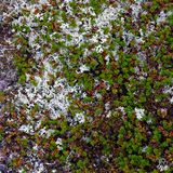 The vegetation of the tundra. The vegetation of the tundra Royalty Free Stock Images