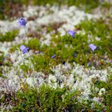 The vegetation of  tundra. The vegetation of the tundra Stock Photography