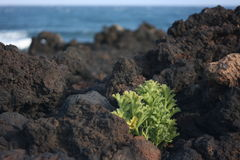 VEGETATION OF THE VOLCANIC Royalty Free Stock Images