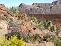 Vegetation on the volcano. El Teide on Tenerife island Royalty Free Stock Images