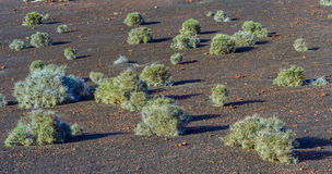 Vegetation in vulcanic area. In Lanzarote, Timanfaya National Park Stock Images