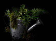 Vegetation in Watering Can. A metal watering can holds vegetation. Isolated on black Royalty Free Stock Images