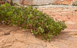 Vegetation in Zion National Park, Utah stock photography