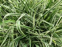 Background - striped grass. royalty free stock photo
