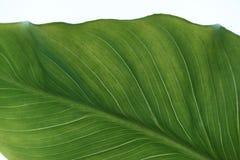Green leaf with veins/. Vegetative background, large, beautiful green leaf with veins royalty free stock photos