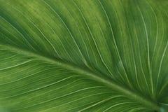 Green leaf with veins. Vegetative background, large, beautiful green leaf with veins stock photography