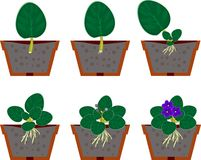 Vegetative reproduction african violets (saintpaulia) home plant Royalty Free Stock Images