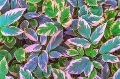 Vegetativer Hintergrund von einer niedrigwüchsigen Bodenabdeckungsanlage mit mehrfarbigen Blättern Aegopodium podagraria Lizenzfreie Stockfotografie